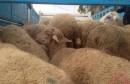 mouton-contre-bande