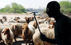 vol-moutons-