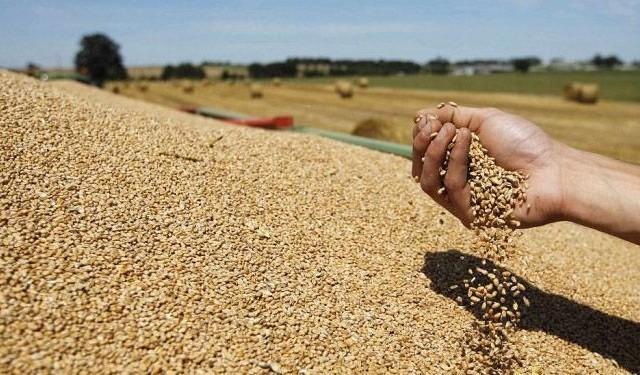 القمح الصلب